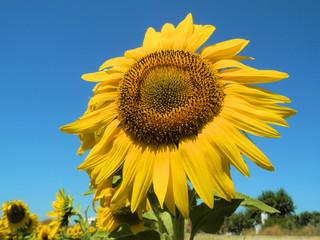 Sommer - Eine Sonneblume will zur Sonne. Nahaufnahme einer Sonnenblume, die zur Sonne wächst. Im Hintergrund sieht man einen wolkenloser, blauer Himmel.