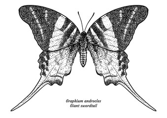 Graphium androcles, giant swordtail, illustration, drawing, engraving, ink, line   art, vector
