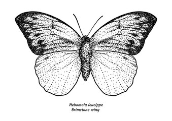 Hebomoia leucippe, brimstone wing, illustration, drawing, engraving, ink, line 