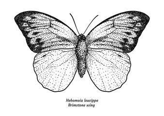 Hebomoia leucippe, brimstone wing, illustration, drawing, engraving, ink, line   art, vector