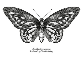 Ornithoptera croesus, Walalce's, golden birdwing, illustration, drawing, 