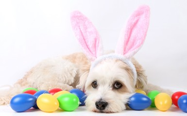 small havanese is ling in the studio with colorful easter eggs and funny bunny ears