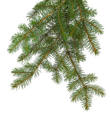 fir tree brach isolated on white without a shadow.
