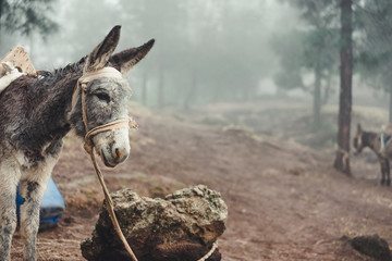 Donkey standing sideways in the pine forest on early misty morning. Santo Antao Cape Verde