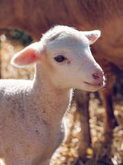 Cute baby sheep on a farm