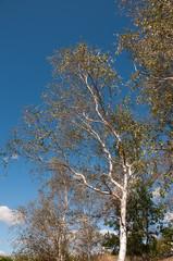 birke in heidelandschaft