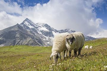 Schafe in den Hohen Tauern