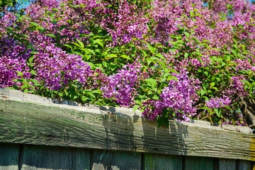 Purple lilac bush blooming in spring day.