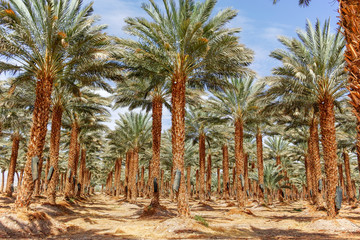 Plantation of Phoenix dactylifera, commonly known as date palm tree in Arava desert, Israel