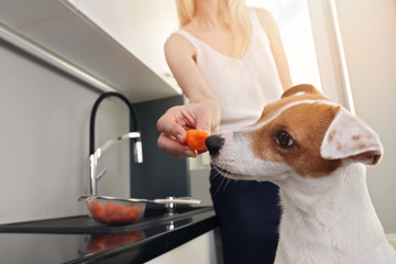 Woman cooking in kitche with her dog. Jack Russell terrier eating carrot, vegetables in pet food