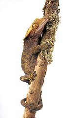 Neukaledonischer Kronengecko (Correlophus ciliatus) - Crested gecko
