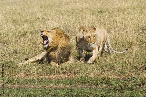 Mating couple of lions making trouble with each other in the Masai Mara National Park in Kenya