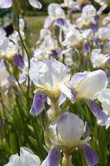 white blue iris