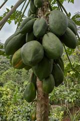 Papaya tropical fruits growing on tree