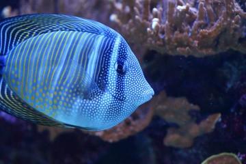 Tang / Surgeon fish / Ocean Wildlife