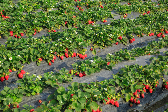 Strawberry fruits growing at field
