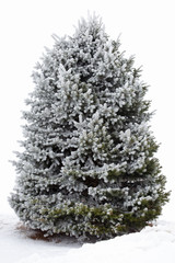 Fir tree covered with hoarfrost