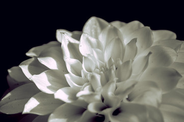 Single Beautiful Dahlia closed up with B&W color