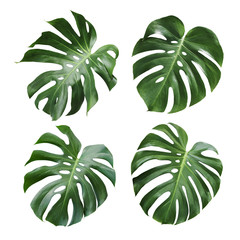 Monstera deliciosa tropical leaf isolated on white background