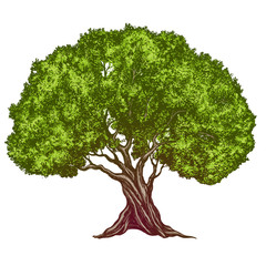 Olive tree hand drawn vector illustration realistic sketch color