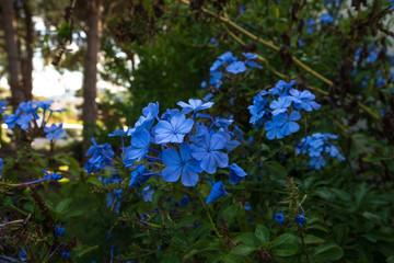 blue flowers in Sardinia in autumn