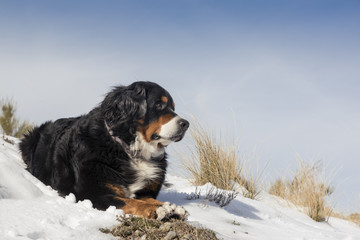 Bernese mountain dog is resting on the snowy hill in a winter sunny day.