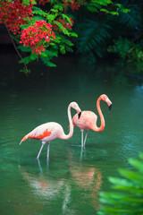 Foto op Canvas Flamingo The pink Caribbean flamingo goes on water. Pink flamingo goes on a swamp