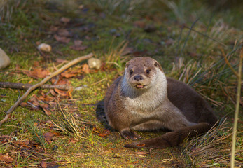 Otter resting on the grass