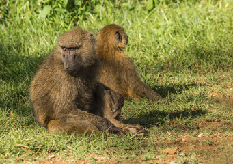 Monkey baboons near Lake Nakuru in Kenya