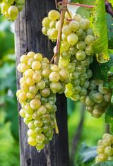 Cachos de uvas verdes