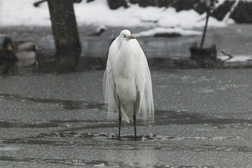 great egret under the snow