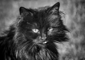 Black and white monochrome image of an old mean cat with attitude
