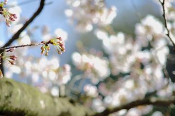 満開の桜の花と桜のつぼみ