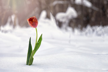 Red tulip growing in snow in winter forest