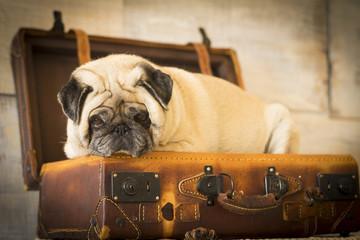 vintage luggage with nice pug dog inside