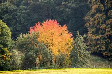 Fotoväggar - leuchtender Baum im herbstlichen Wald