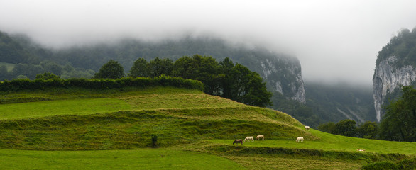 Landscape-Herd of cows in the Pyrenees-France