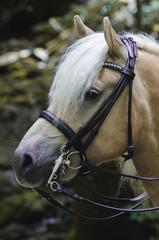 Portrait Pony  im Wald