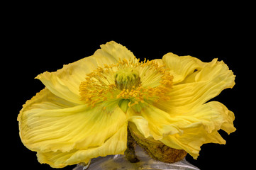 Floral fine art still life detailed bright color macro flower portrait of a single isolated yellow satin/silk poppy blossom,black background, detailed texture, in a vase,seen from the front