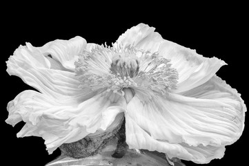 Floral fine art still life detailed monochrome macro flower portrait of a single isolated white satin/silk poppy blossom,black background, detailed texture, in a vase,seen from the front