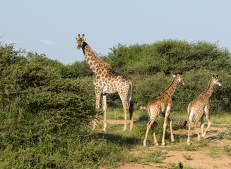 giraffes in the wild in south africa