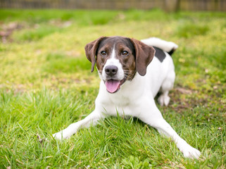 A playful brown and white Hound mix dog