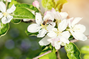 Bee collects nectar and flies. Apple tree blooming on the springtime