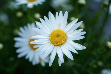 Tender daisies in the summertime
