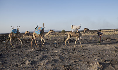 three camels in the ethiopian desert