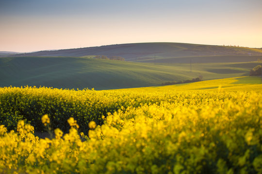 Spring yellow fields