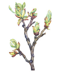 A young spring branch of a chestnut tree with buds and leaves. Watercolor hand drawn painting illustration isolated on a white background.