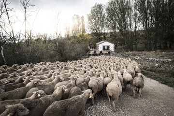 Sheep walking on footpath amidst trees against sky
