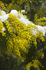 Snow on Acacia flowers