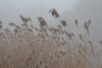 Obraz Polska zima, suche trawy we mgle - fototapety do salonu